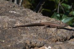 Madeira-Mauereidechse (Teira dugesii)