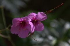 Riesenprachtstorchschnabel (Geranium maderense)