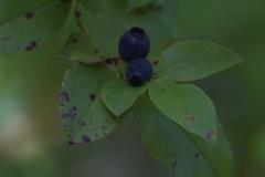 Madeira-Heidelbeere (Vaccinium padifolium)