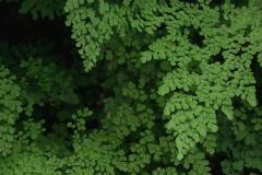 Frauenhaarfarn (Adiantum capillus-veneris)