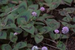 Knöpfchen-Knöterich (Persicaria capitata)