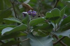 Wollblütiger Nachtschatten (Solanum mauritianum)