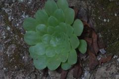 Drüsiges Äonium (Aeonium glandulosum)