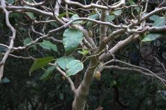 Baumtomate (Cyphomandra betacea)