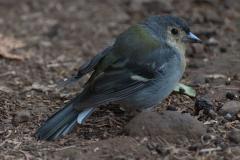 Madeira-Buchfink (Fringilla coelebs subsp. madeirensis)
