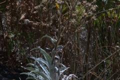 Andryala glandulosa subsp. cheiranthifolia