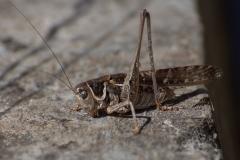 Südlicher Warzenbeißer (Decticus albifrons)