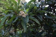 Japanische Wollmispel (Eriobotrya japonica)