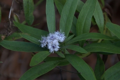 Weidenartige Kugelblume (Globularia salicina)