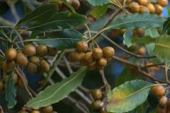 Krausblättriger Klebsame (Pittosporum undulatum)
