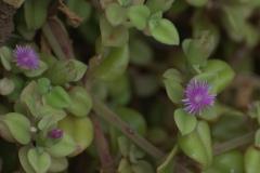 Herzblättrige Mittagsblume (Aptenia cordifolia)