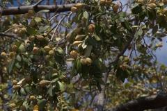 Norfolkeibisch (Lagunaria patersonii)