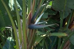 Baumstrelitzie (Strelitzia nicolai)