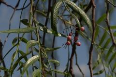 Peruanischer Pfefferbaum (Schinus molle)