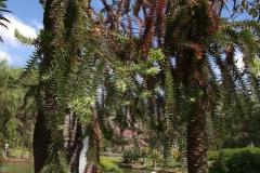 Chilenische Araukarie (Araucaria araucana)