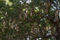 Leberwurstbaum (Kigelia africana)