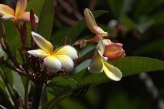 Dreifarbiger Frangipani (Plumeria tricolor)
