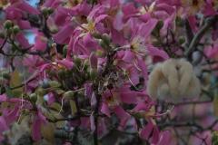 Florett-Seidenbaum (Ceiba speciosa)