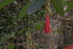 Fuchsia corymbiflora