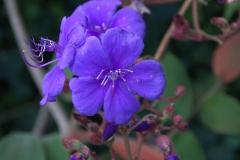 Prinzessinnenblume (Tibouchina urvilleana)