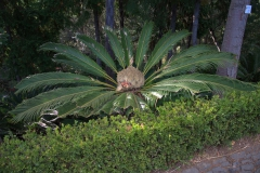 Japanischer Palmfarn (Cycas revoluta)