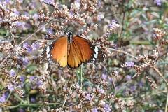 Afrikanischer Monarchfalter (Danaus chrysippus)