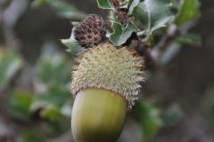 Kermes-Eiche (Quercus coccifera)