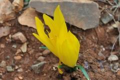 Herbst-Goldbecher (Sternbergia lutea)