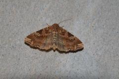 Adlerfarneule (Callopistria juventina)