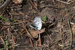 Bergweißling (Pieris bryoniae)
