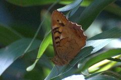 Madeira-Waldbrettspiel (Pararge xiphia)