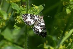Fleckleib-Labkrautspanner (Epirrhoe tristata)