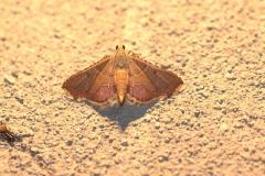 Geflammter Kleinzünsler (Endotricha flammealis)