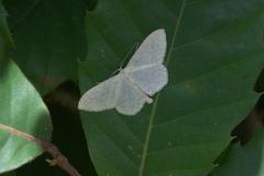 Gelblichweißer Kleinspanner (Scopula floslactata)