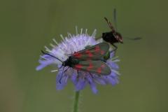 Gemeines Blutströpfchen (Zygaena filipendulae)