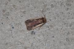 Hellrandige Erdeule (Ochropleura plecta)