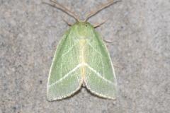 Jägerhütchen (Pseudoips prasinana)