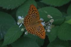 Kaisermantel M (Argynnis paphia)