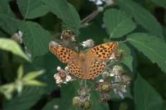 Kaisermantel W (Argynnis paphia)