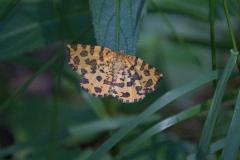 Panther-Spanner (Pseudopanthera macularia)