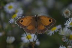 Rotbraunes Ochsenauge (Pyronia tithonus)