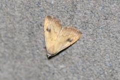 Seideneulchen (Rivula sericealis)