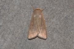 Weißpunkt-Graseule (Mythimna albipuncta)