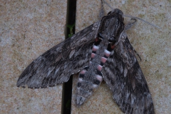 Windenschwärmer (Agrius convolvuli)