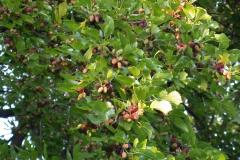 Schwarze Maulbeere (Morus nigra L.) mit unreifen Früchten