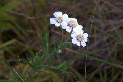 Sumpf-Schafgarbe (Achillea ptarmica)