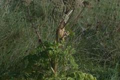 Arznei-Engelwurz (Angelica archangelica)
