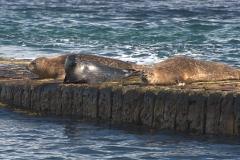 Kegelrobben und Seehund