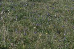 Acker-Witwenblumen (Knautia arvensis) blühend