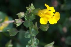 Gefleckte Gauklerblume (Mimulus guttatus)